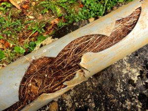 tree-roots-plumbing-nightmare